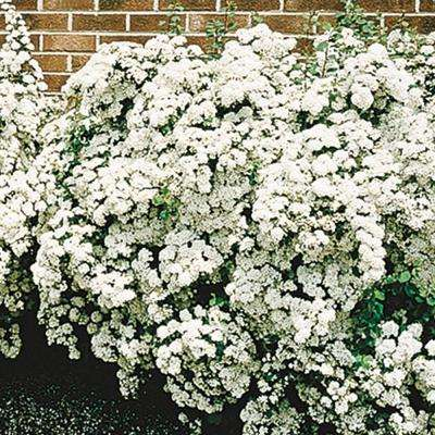 4 in. Pot VanHoutte Spirea Live Potted Plant with White Flowering Shrub (1-Pack)
