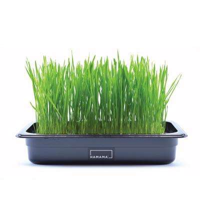 Cat Grass Kit with 3-Wheatgrass