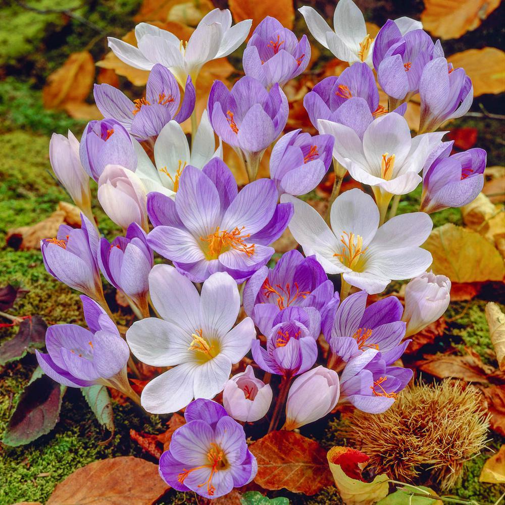 Fall Blooming Crocus Bulb Mixture (15-Pack)