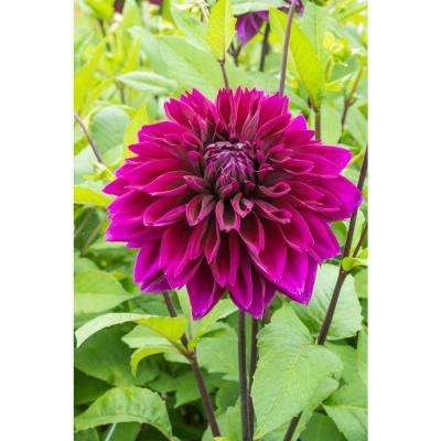 Thomas Edison Dinner Plate Dahlia Bulbs (3-Pack)