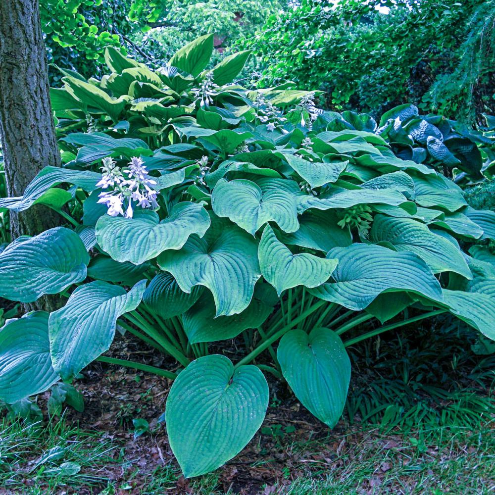 Kingsize Hosta Live Bareroot Perennial With Green Foliage 3 Pack