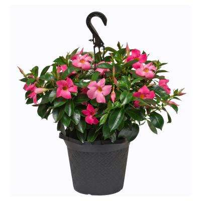 #10 Hanging Basket Dipladenia Flowering Annual Shrub with Red, Pink, White and Raspberry Splash Blooms