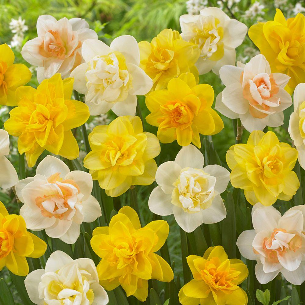 Bloomsz Double Daffodil Mix Flower Bulb 8 Pack 07572 The Home Depot