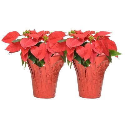 1 pt. Fresh Red Poinsettia with Red Pot Cover (Live 2-Pack)