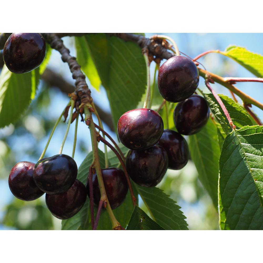 Black Pearl Cherry Tree Bare Root