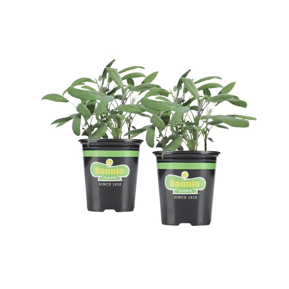 19.3 oz. Garden Sage (2-Pack Live Plants)