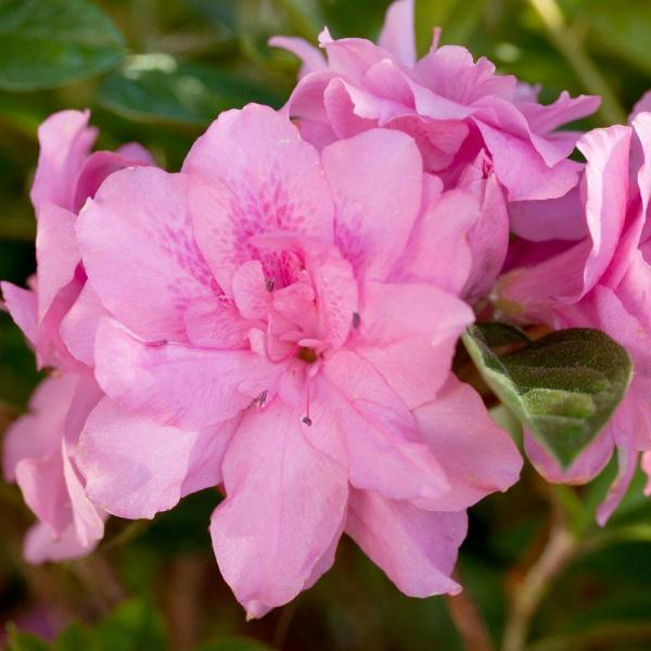 1 Gal. Autumn Carnation Encore Azalea Shrub with Ruffled Pink Reblooming Flowers