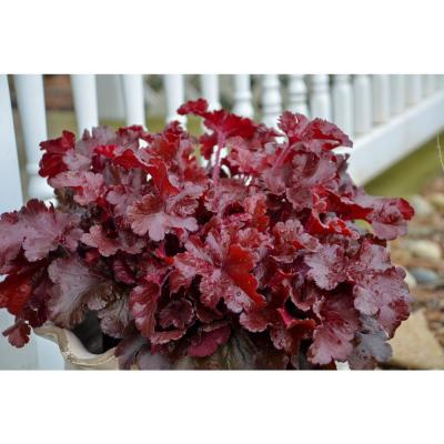 0.65 Gal. Dolce Cherry Truffles Coral Bells (Heuchera) Live Plant, Pink Flowers and Red Foliage