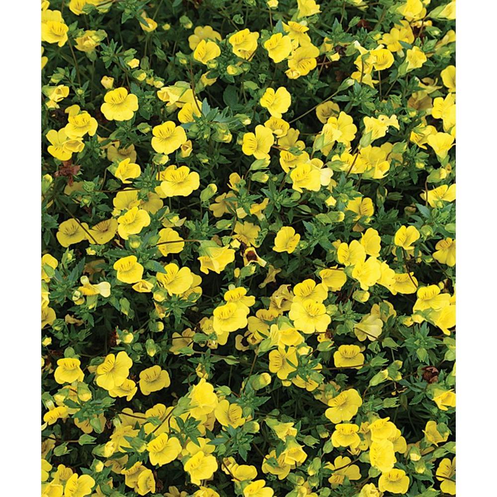 Proven winners golddust mecardonia live plant yellow flowers proven winners golddust mecardonia live plant yellow flowers 425 in grande mightylinksfo