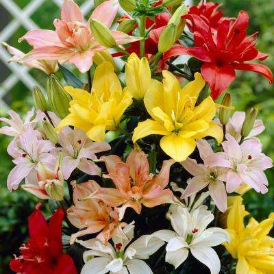 Double Blooming, Pollen Free, Mixed Color Lily Bulbs (7-Pack)