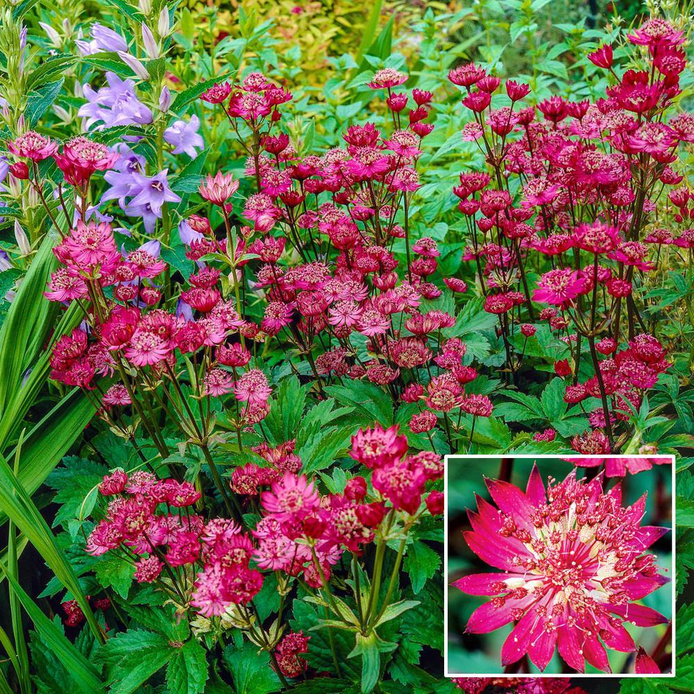 Rubra Masterwort (Astrantia) Live Bareroot Plant Red Flowering Perennial (1-Pack)