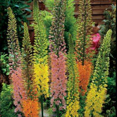 Multi-Color Flowers Shelford Foxtail Lily (Eremurus) Bulbs (5-Pack)