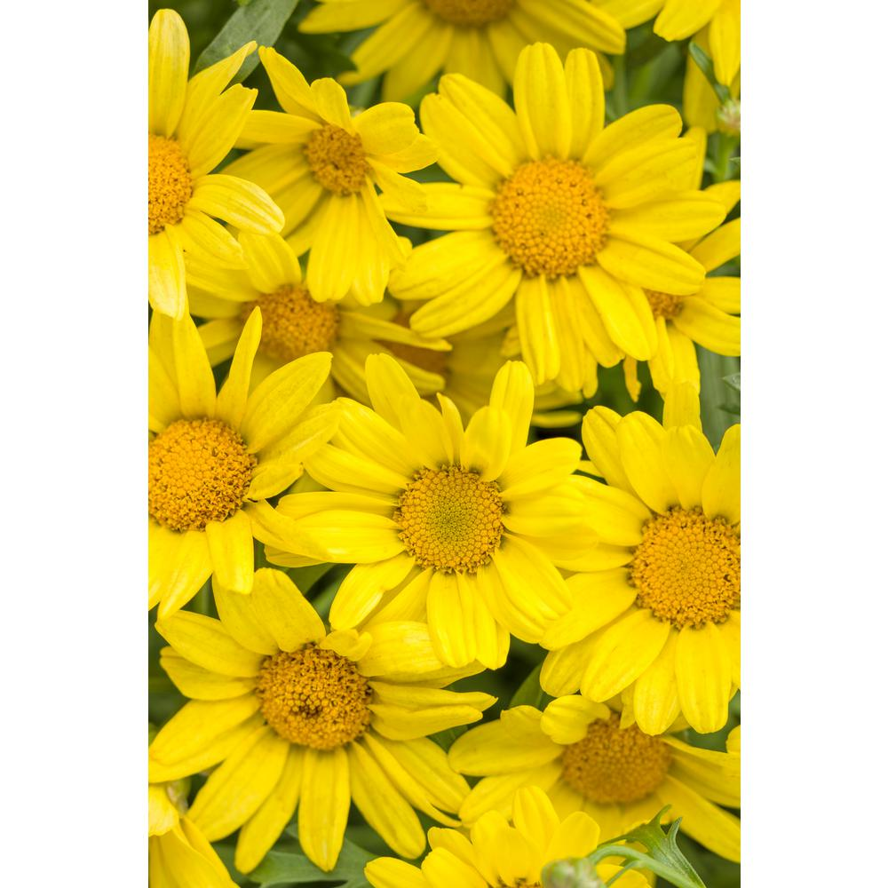 Proven winners golden butterfly marguerite daisy argyranthemum proven winners golden butterfly marguerite daisy argyranthemum live plant yellow flowers 425 in izmirmasajfo