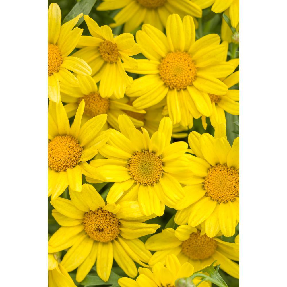 4-Pack, 4.25 in. Grande Golden Butterfly Marguerite Daisy (Argyranthemum) Live Plant Yellow Flowers