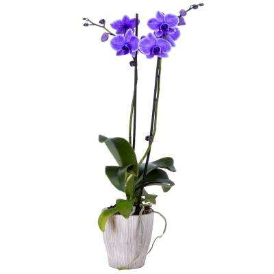 5 in. Orchid Purple in Container