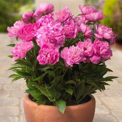 Pink Patio Peonies Rome - For Containers