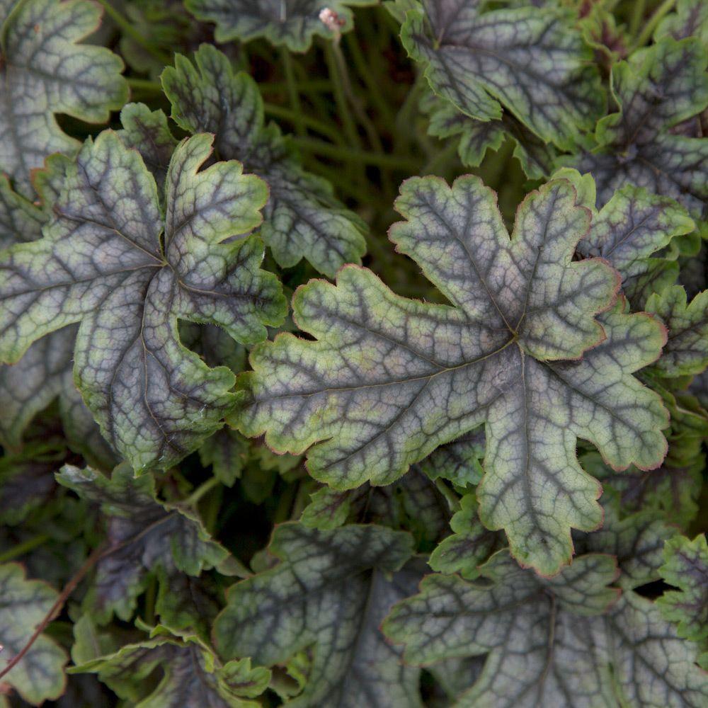 2.5 Qt. Tapestry Heucherella, Live Perennial Plant, Multi-color Foliage