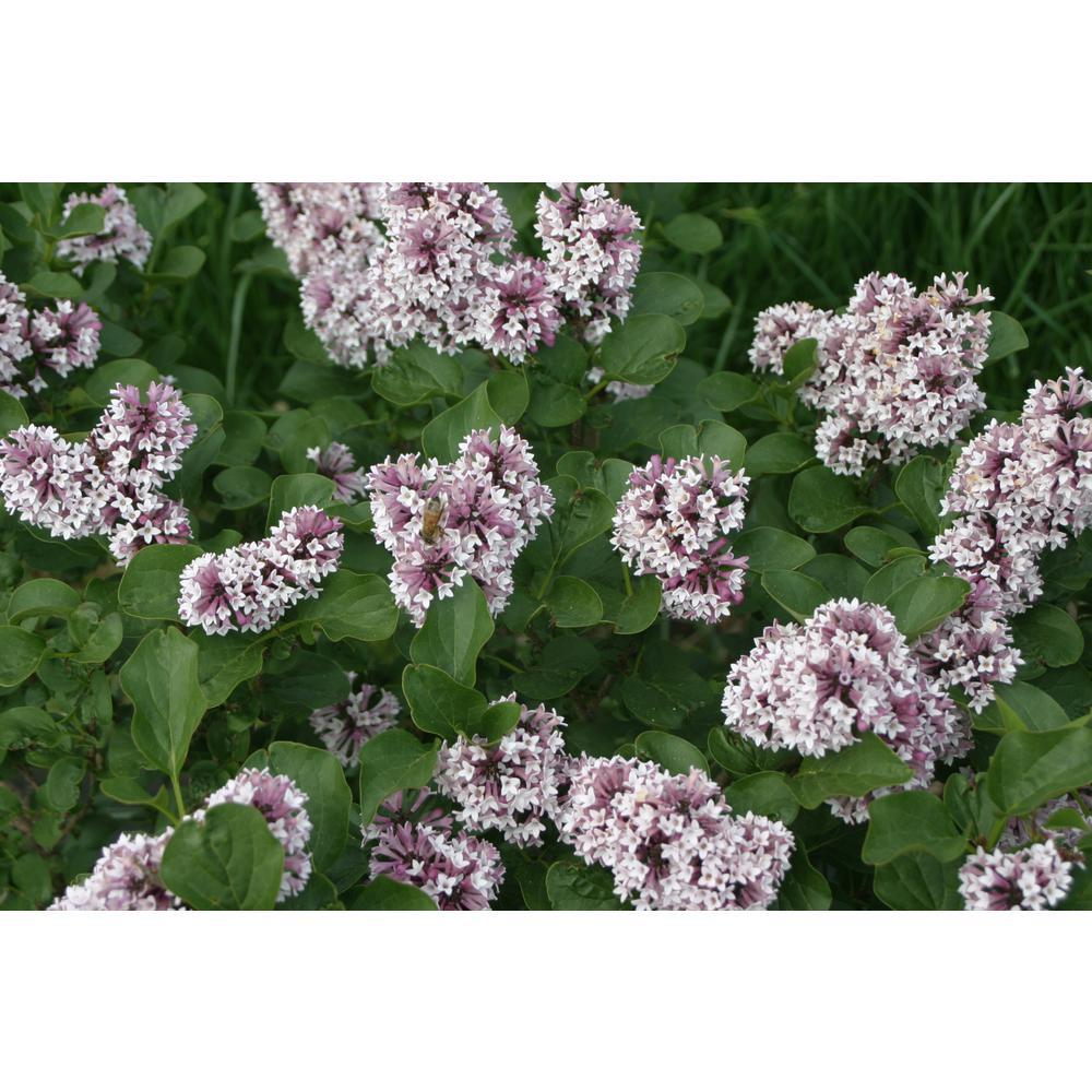 4.5 in. Qt. Baby Kim Llilac (Syringa) Live Plant, Purple Flowers
