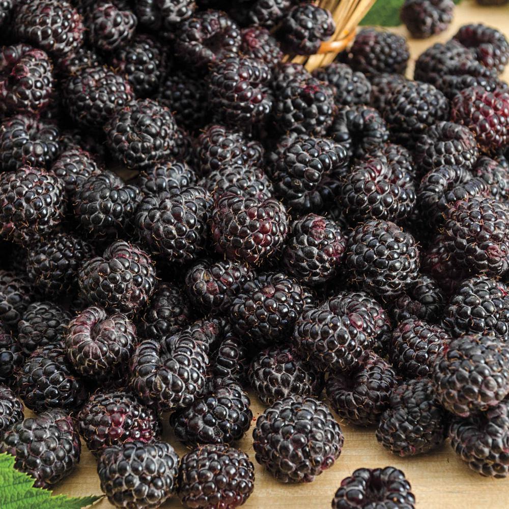 Sweet Repeat Black Raspberry Rubus Live Bareroot Fruting Plant 1 Pack
