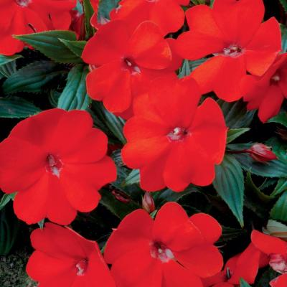 1 Qt. SunPatiens Orange Impatiens Plant