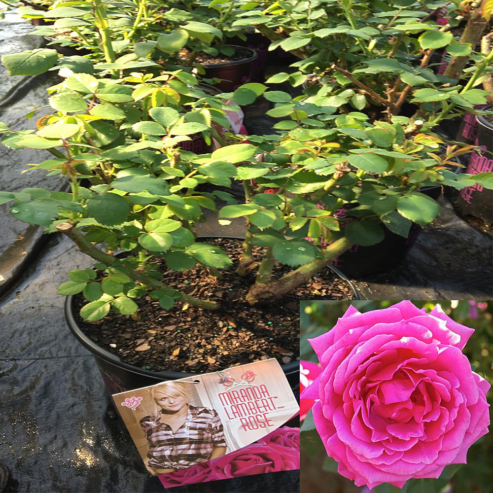 Onlineplantcenter 3 Gal Miranda Lambert Rose Plant