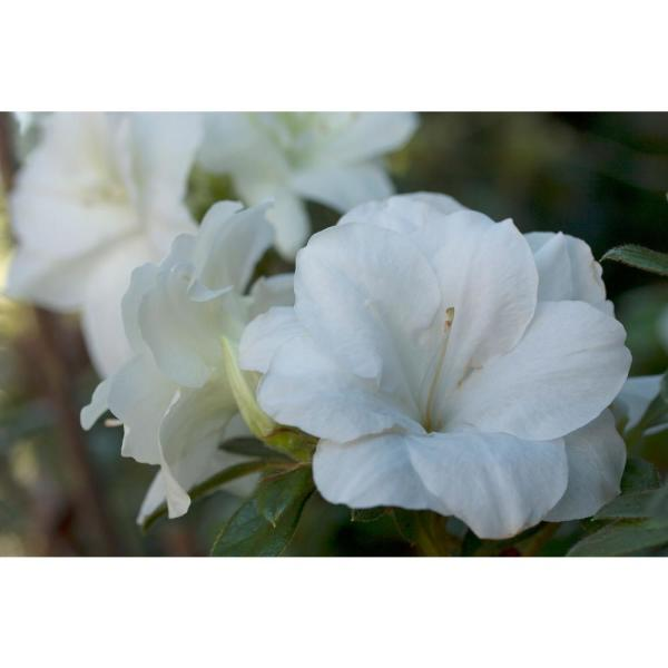 1 gal. Autumn Moonlight Encore Azalea Shrub with White Flowers
