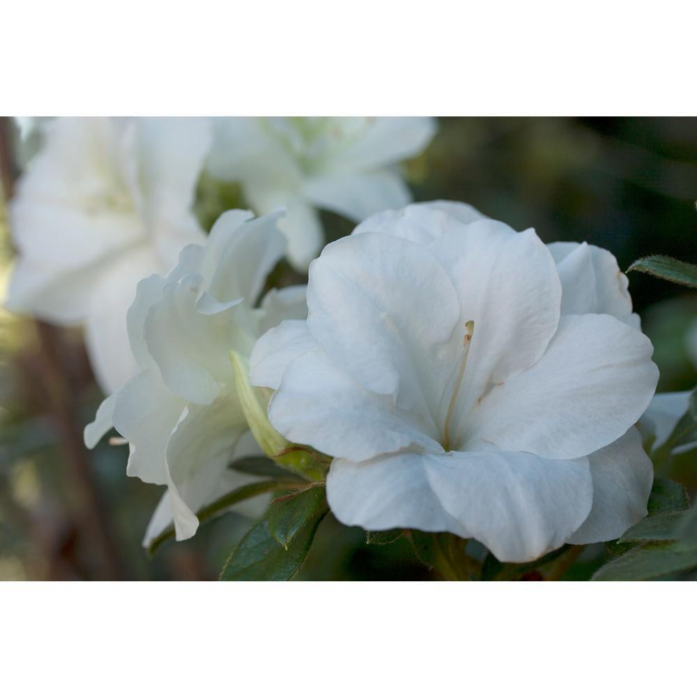 1 gal. Autumn Moonlight Encore Azalea Shrub with White Flowers