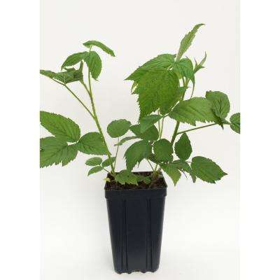 Polka Fruit-Bearing Potted Red Raspberry Plant
