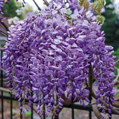 Japanese Wistera Live Bare Root Flowering Vine with Purple Flowers (1-Pack)