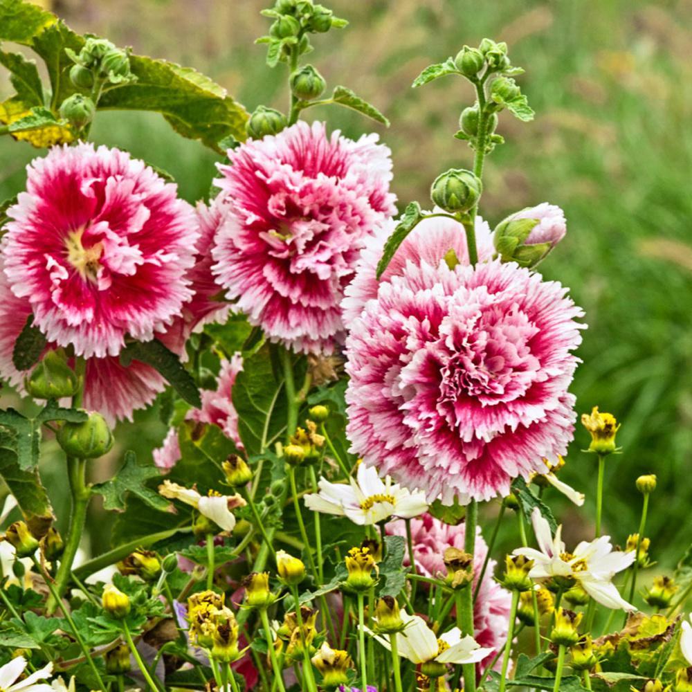 Spring Celebrites Hollyhock (Alcea) Mixture Live Bareroot Perennial With  Mulit Color Flowers (5 Pack)