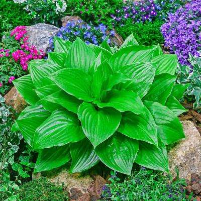 Hostas For Sale >> Hosta Perennials Garden Plants Flowers The Home Depot