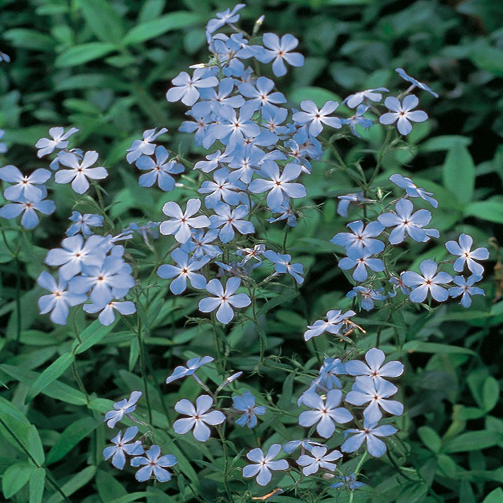 Blue Wild Blue Phlox Perennial flowering ground cover
