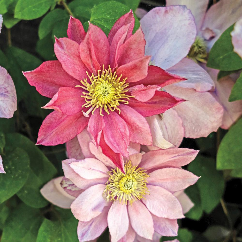 Spring Hill Nurseries Little Mermaid Clematis Live Bareroot Plant