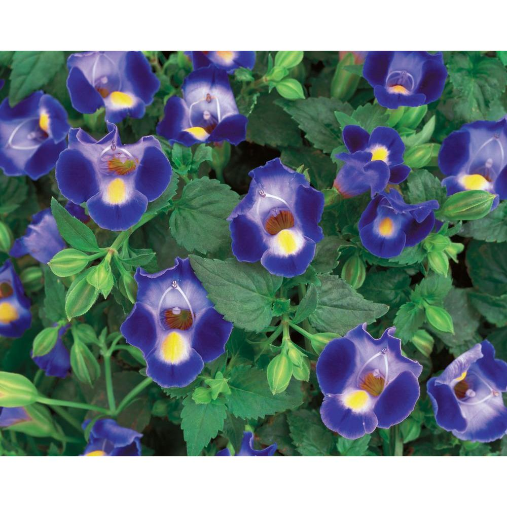 Proven Winners Catalina Midnight Blue Wishbone Flower (Torenia) Live Plant,  Blue Flowers with a Yellow Throat, 4 25 in  Grande, 4-pack