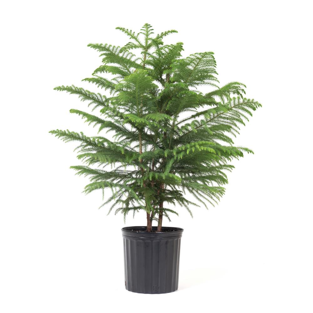 Norfolk Island Pine in 9.25 in. Grower Pot-24925 - The Home Depot