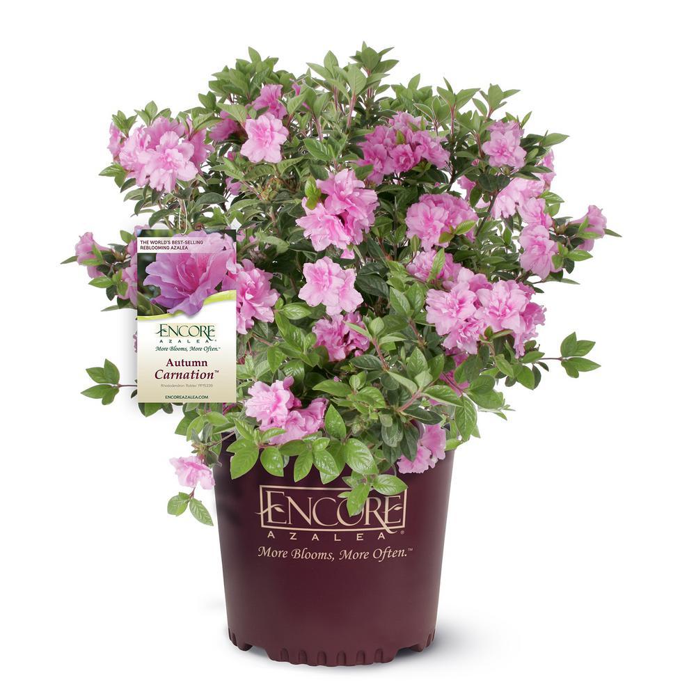 3 Gal. Autumn Carnation Azalea Shrub with Semi Double Pink Flowers