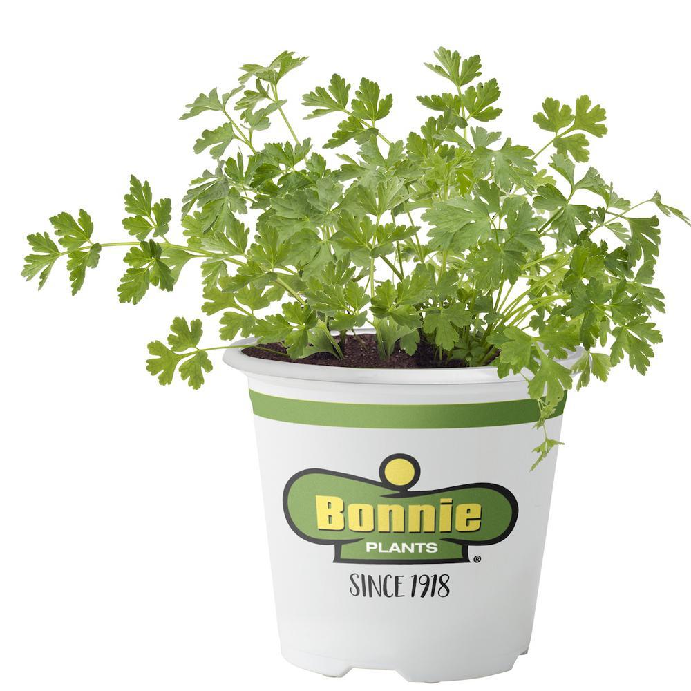 Bonnie Plants 4.5 in. Flat Italian Parsley
