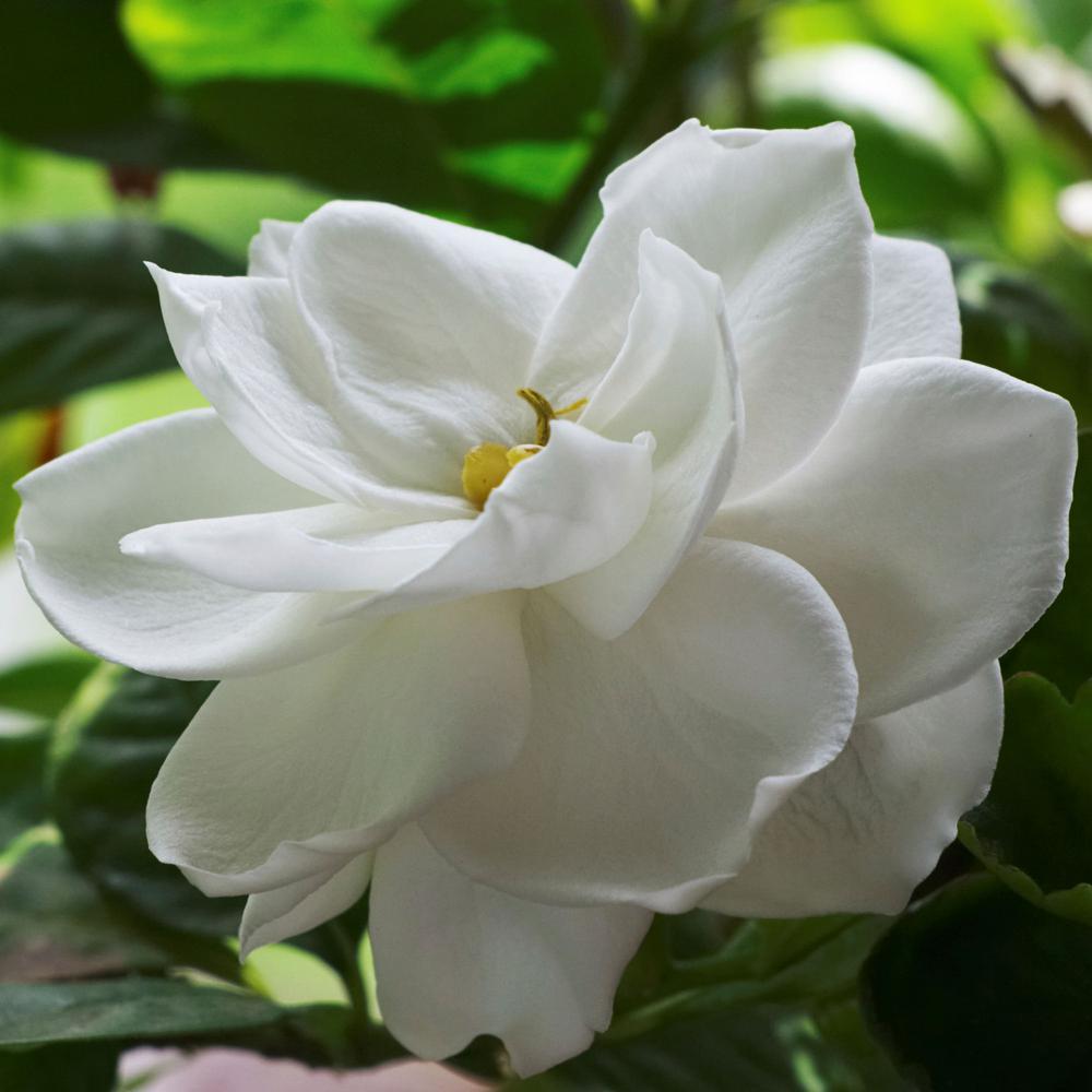 2.25 Gal. White Blooms Radicans Gardenia Plant