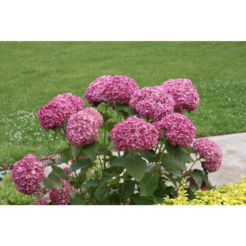 1 Gal. Invincibelle Mini Mauvette Smooth Hydrangea, Live Shrub, Pink Flowers