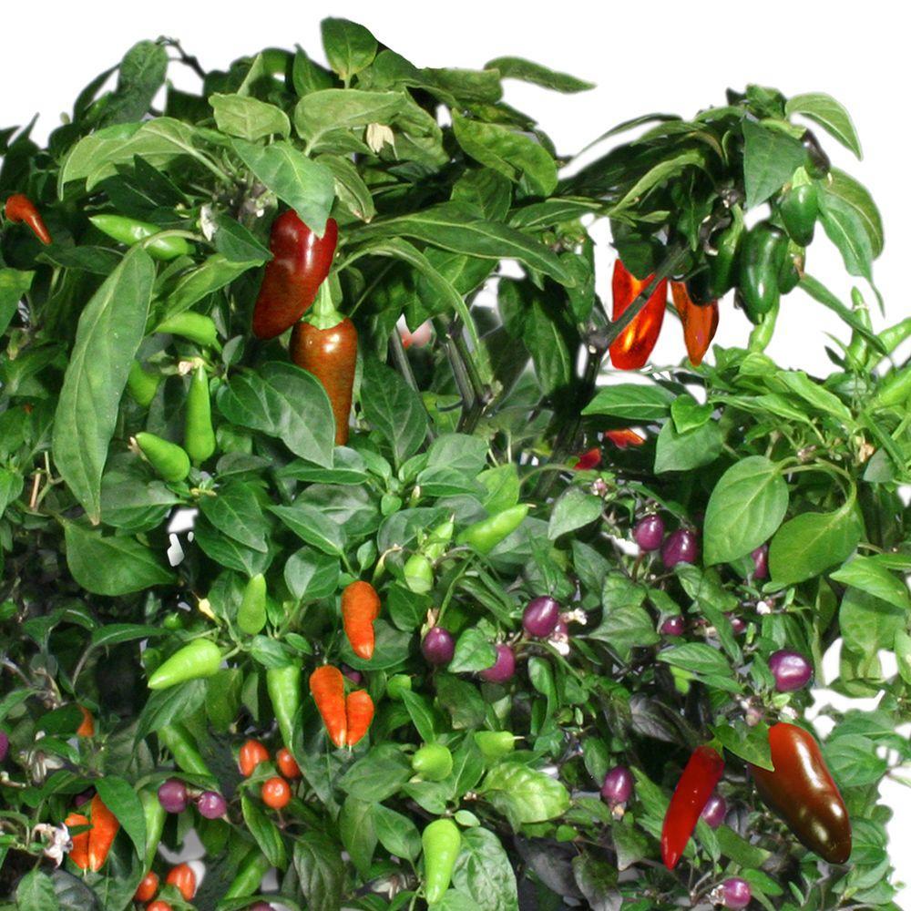 Miracle-Gro AeroGarden Chili Pepper Seed Pod Kit