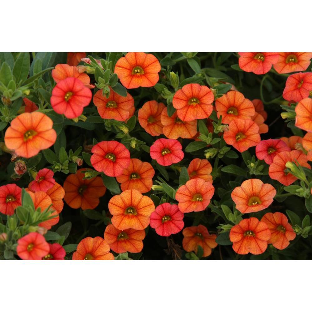 Superbells Dreamsicle(Calibrachoa) Live Plant,Orange Flowers, 4.25 in. Grande
