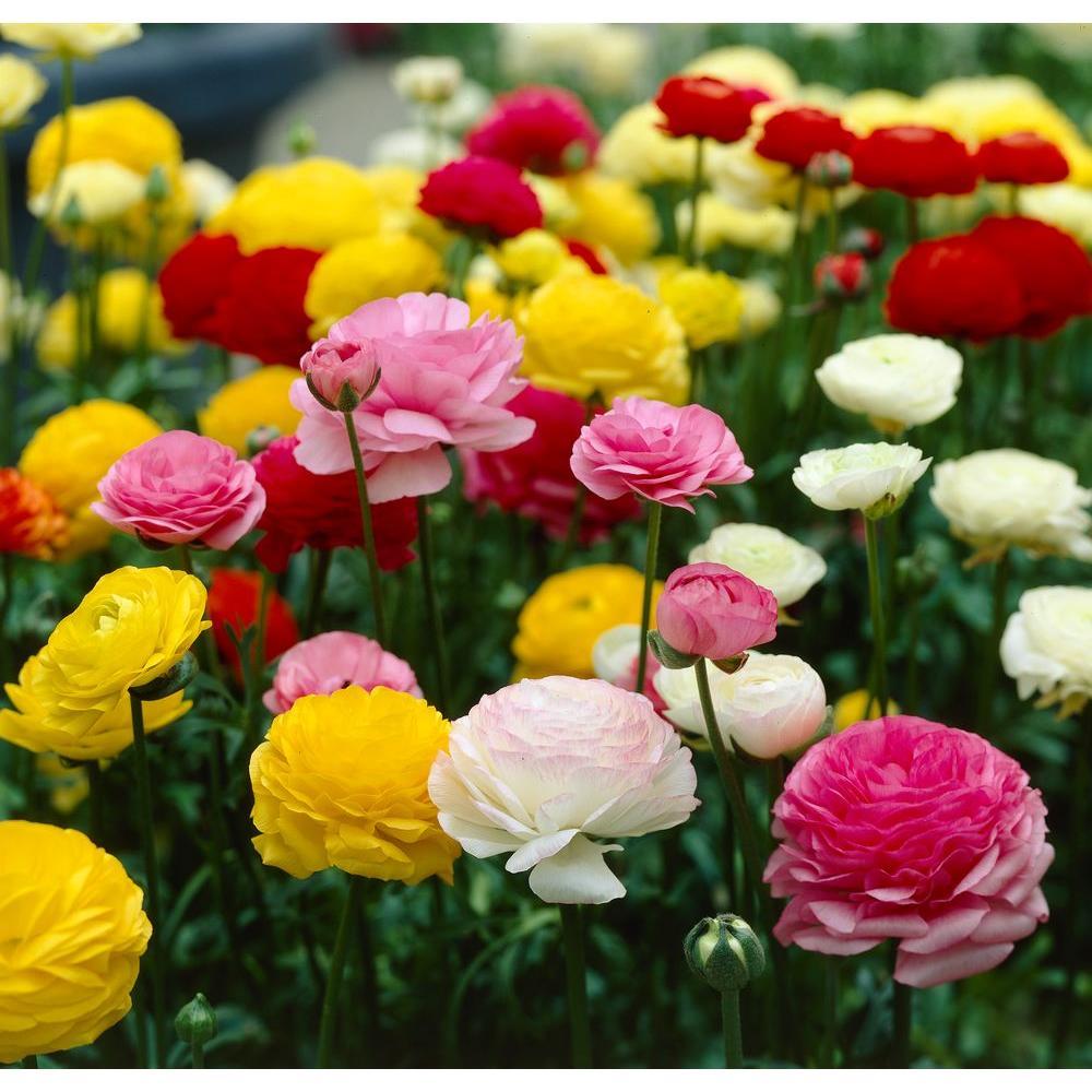 Ranunculus Mix Flower Bulbs (12-Pack)